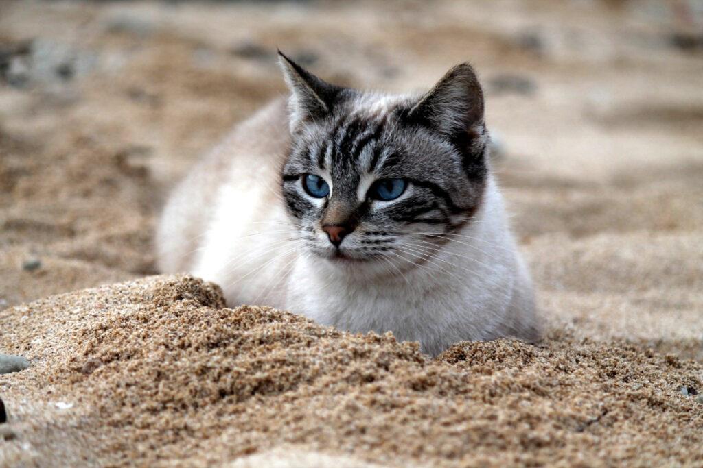 Gatto bianco e tigrato appartenente ad una colonia felina che riposa sulla spiaggia.