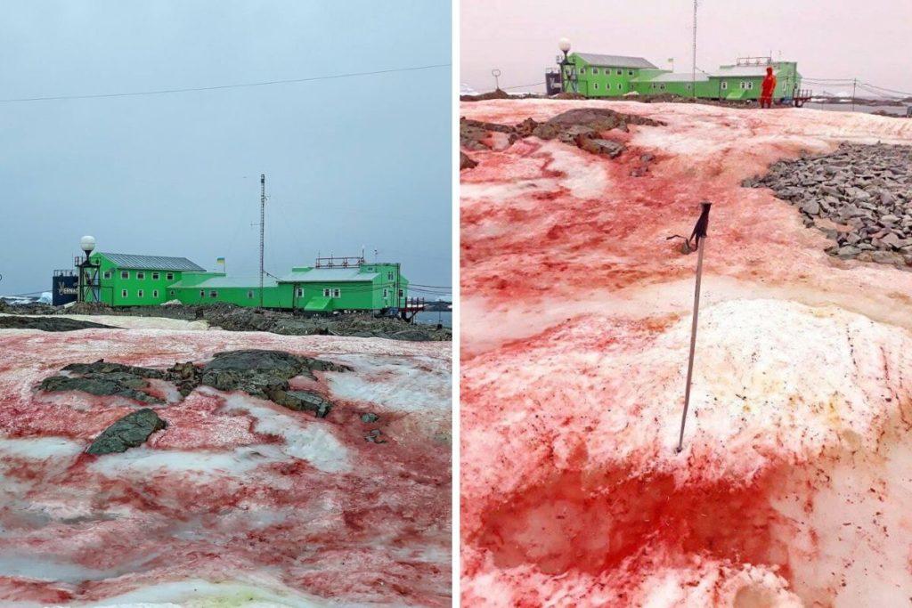 Watermelon Snow: in Antartide la neve si colora di rosso.