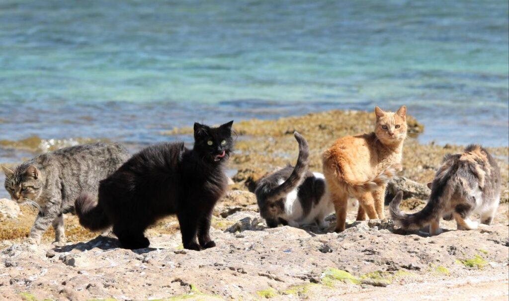 Gatti di varie razze e colori appartenenti alla colonia felina di Su Pallosu si trovano sulla spiaggia