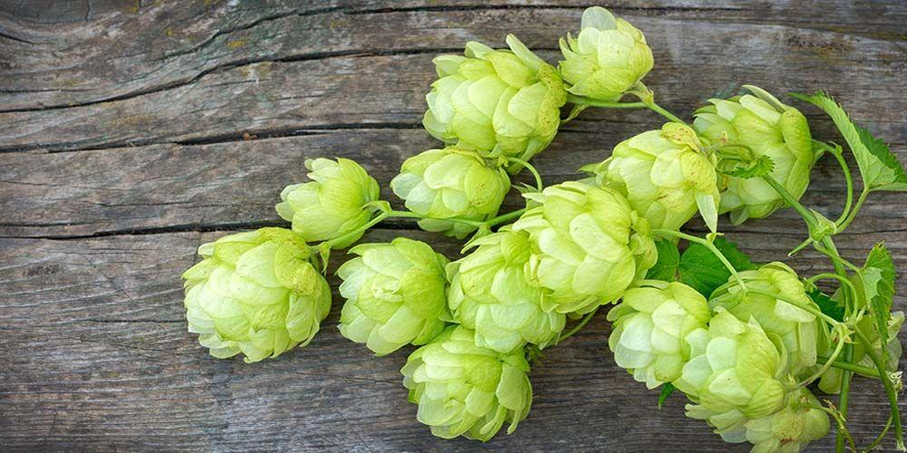 Luppolo ingredienti birra