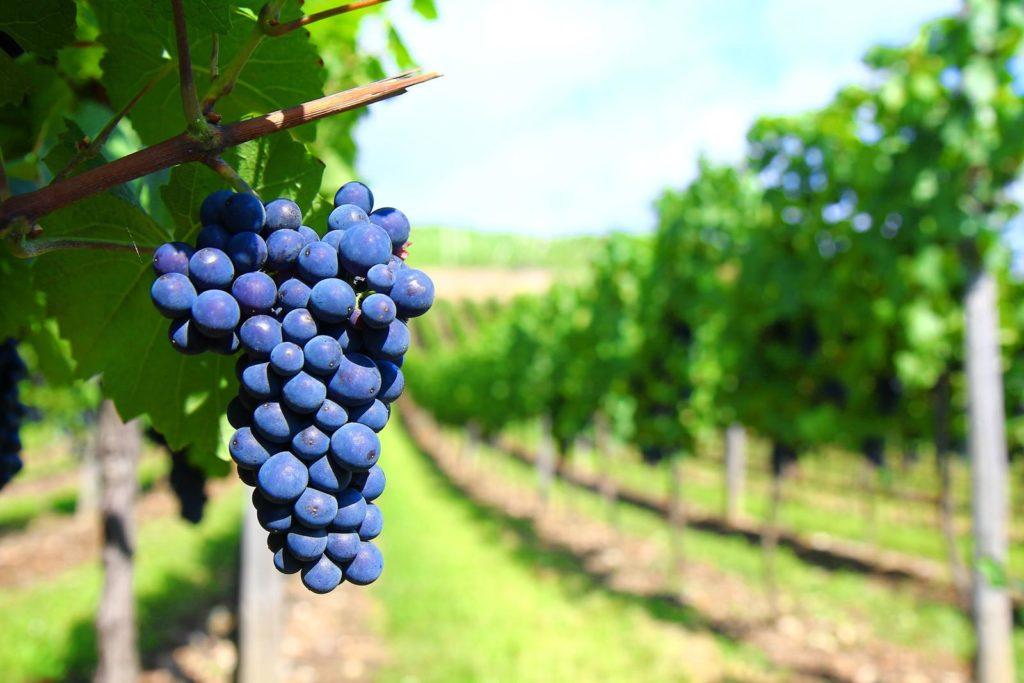Sangiovese Italian red wine : grape , vineyard and territory.