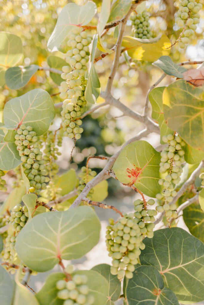 Grappoli di uva bianca in un vitigno